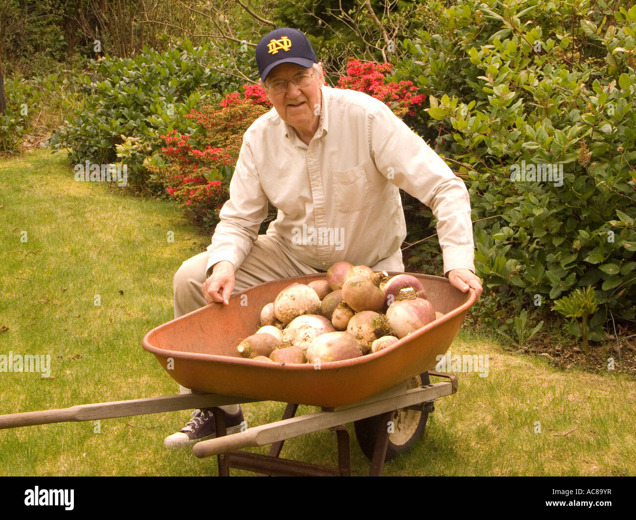 Proud gardener poses with the result of his labors a crop of large turnips ready for the table - Stock Image
