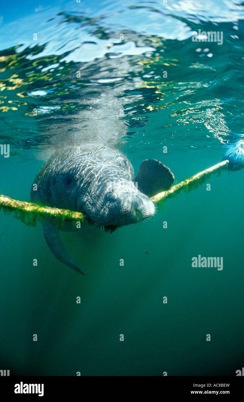 West Indian Manatee nibbles on rope Trichechus manatus latirostris USA Florida FL Crystal River - Stock Image