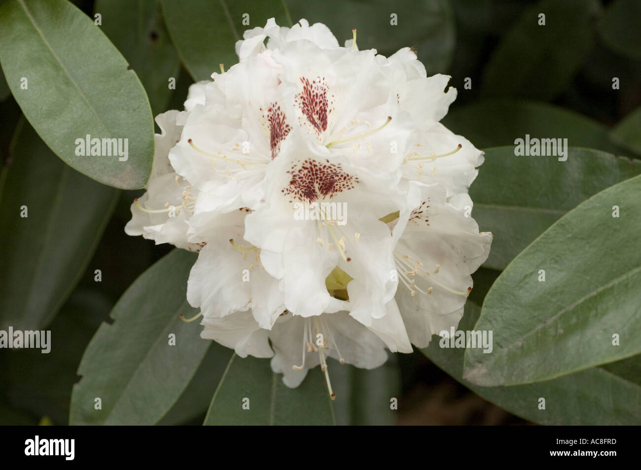 White Flowers Rhododendron Rhododendron Lady Stock Photos White