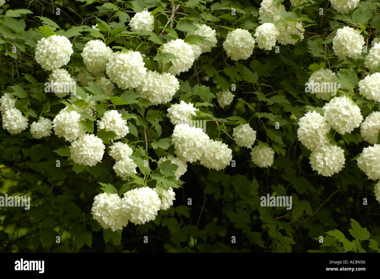White Flowers Of Medicine Plant Guelder Rose Or Snowball Tree Or