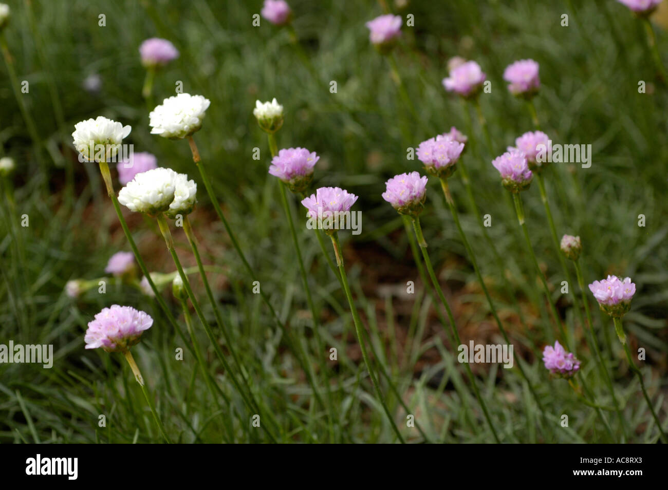 Wild flower sea pinks plumbaginaceae armeria maritima northern wild flower sea pinks plumbaginaceae armeria maritima northern europe mightylinksfo