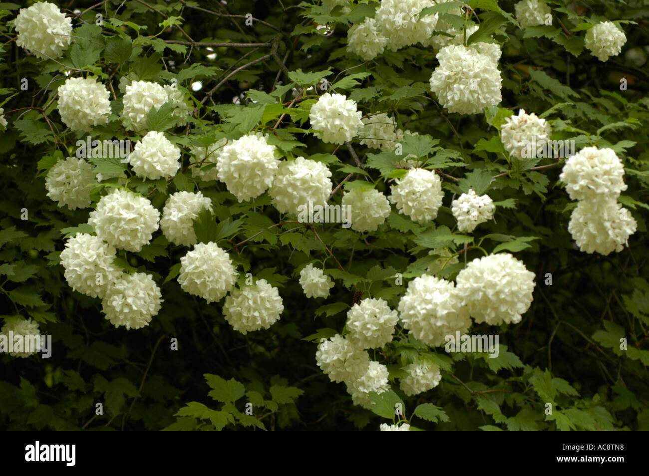 White flowers of medicine plant guelder rose or snowball tree or white flowers of medicine plant guelder rose or snowball tree or high cranberry bush or caprifoliaceae viburnum opulus rose mightylinksfo