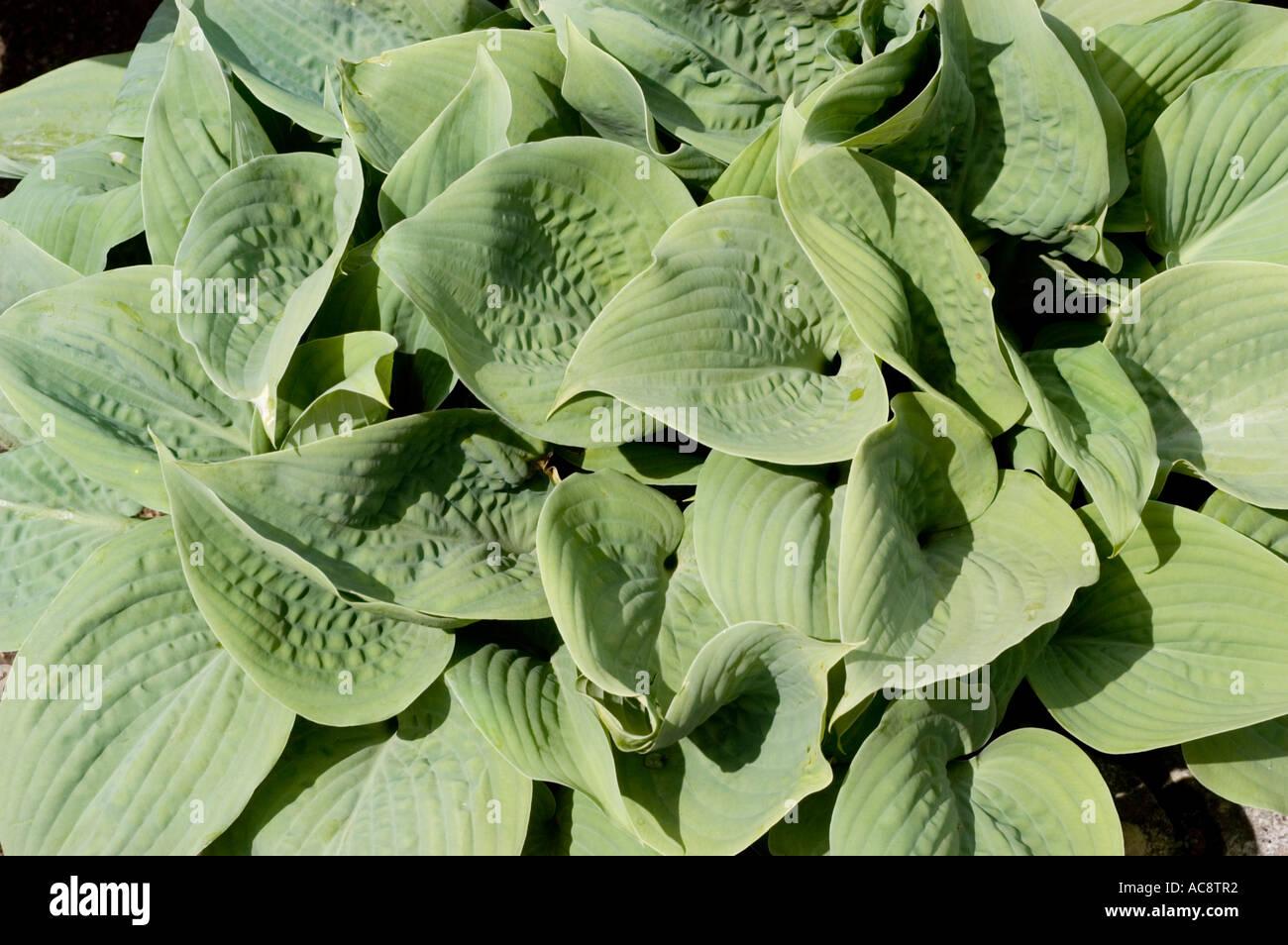 Green Leaves Of Hostaceae Hosta Fragrant Blue Stock Photo 7473777