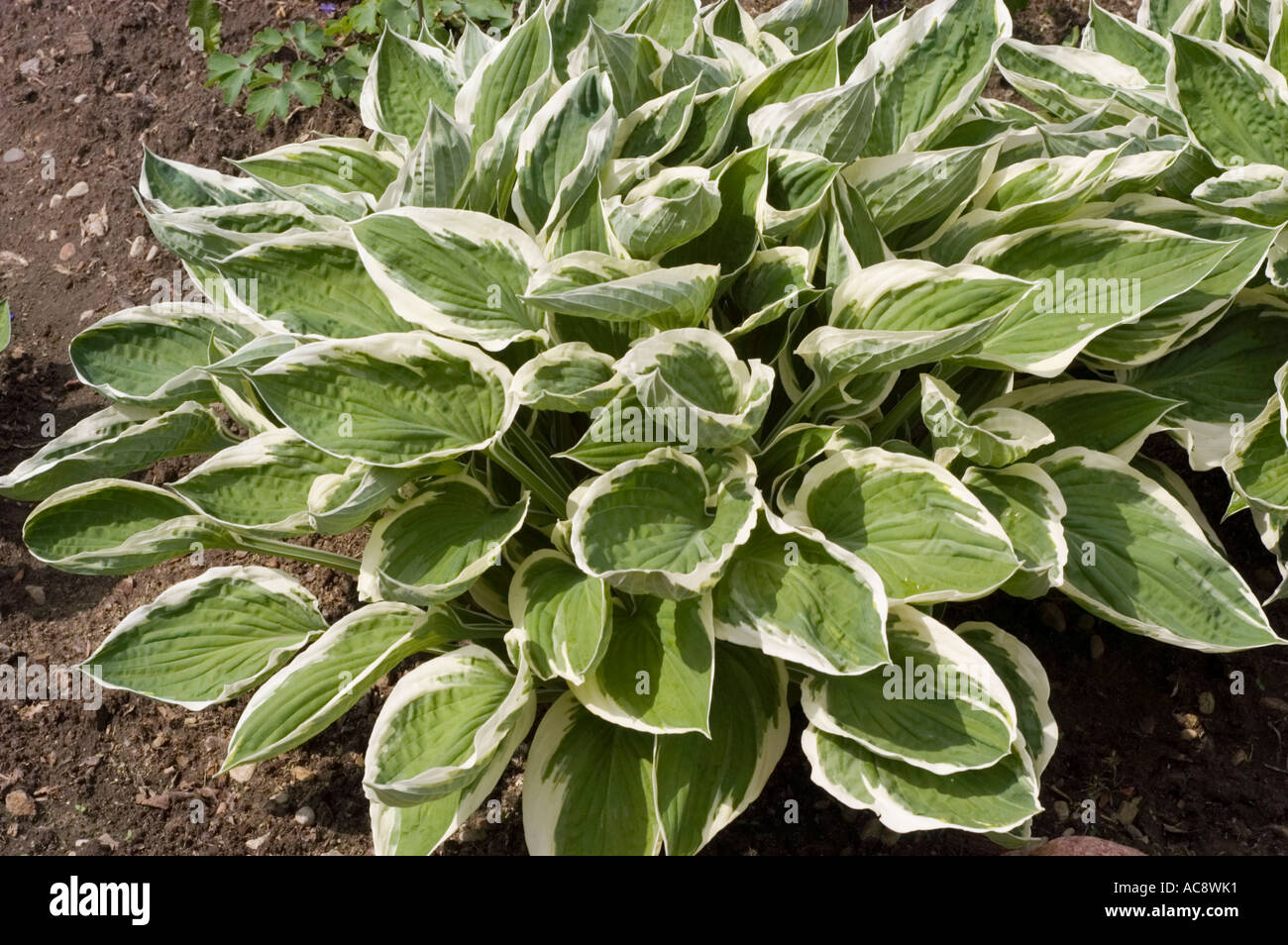 Green Leaves Of Hostaceae Hosta Zager White Edge Stock Photo