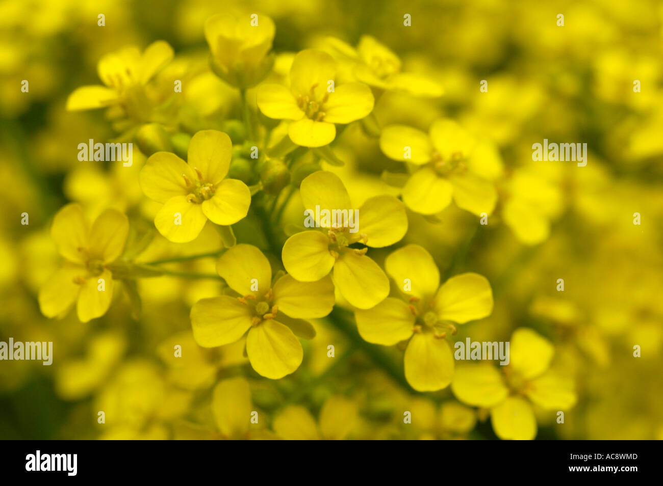 Yellow Flowers Of Warty Cabbage Or Hill Mustard Or Turkish Rocket Or