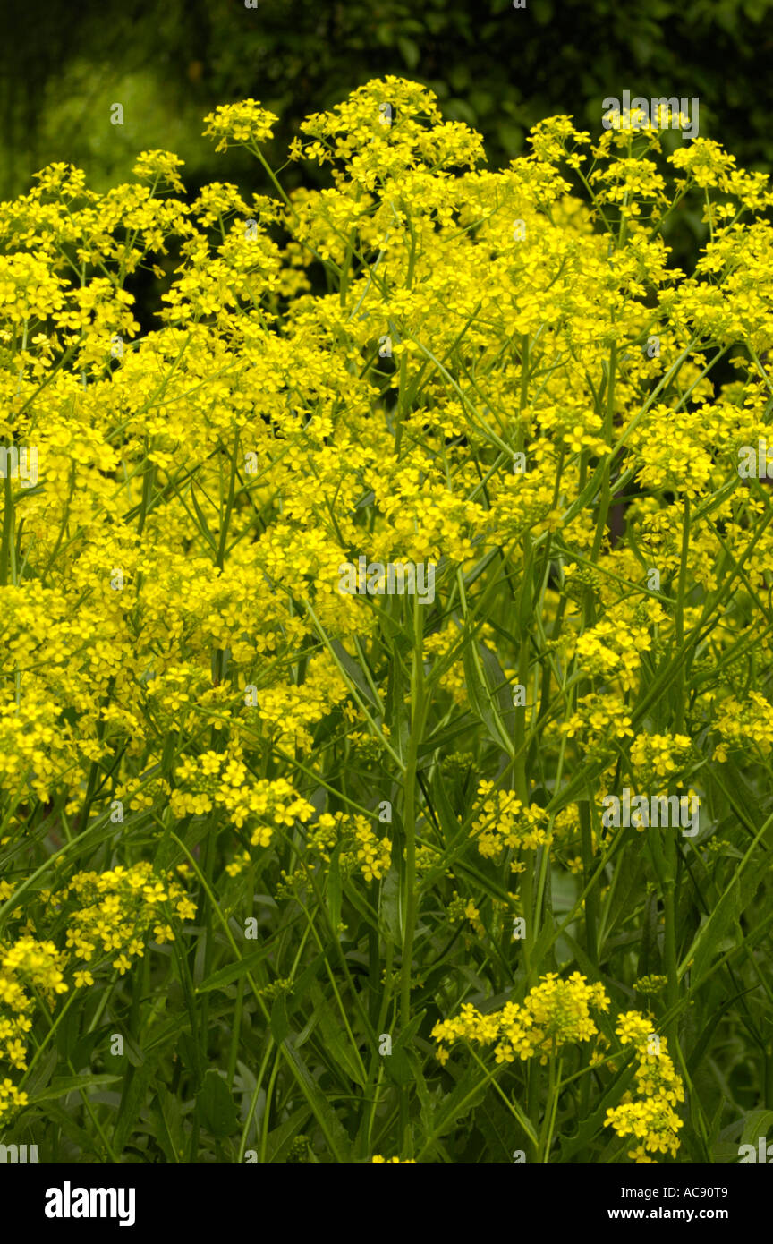 Yellow flowers of warty cabbage or hill mustard or turkish rocket or yellow flowers of warty cabbage or hill mustard or turkish rocket or wartycabbage cruciferae bunias orientalis east europe mightylinksfo