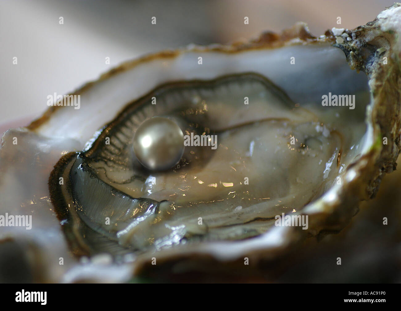Atlantic pearl-oyster (Pinctada imbricata), pearl - Stock Image