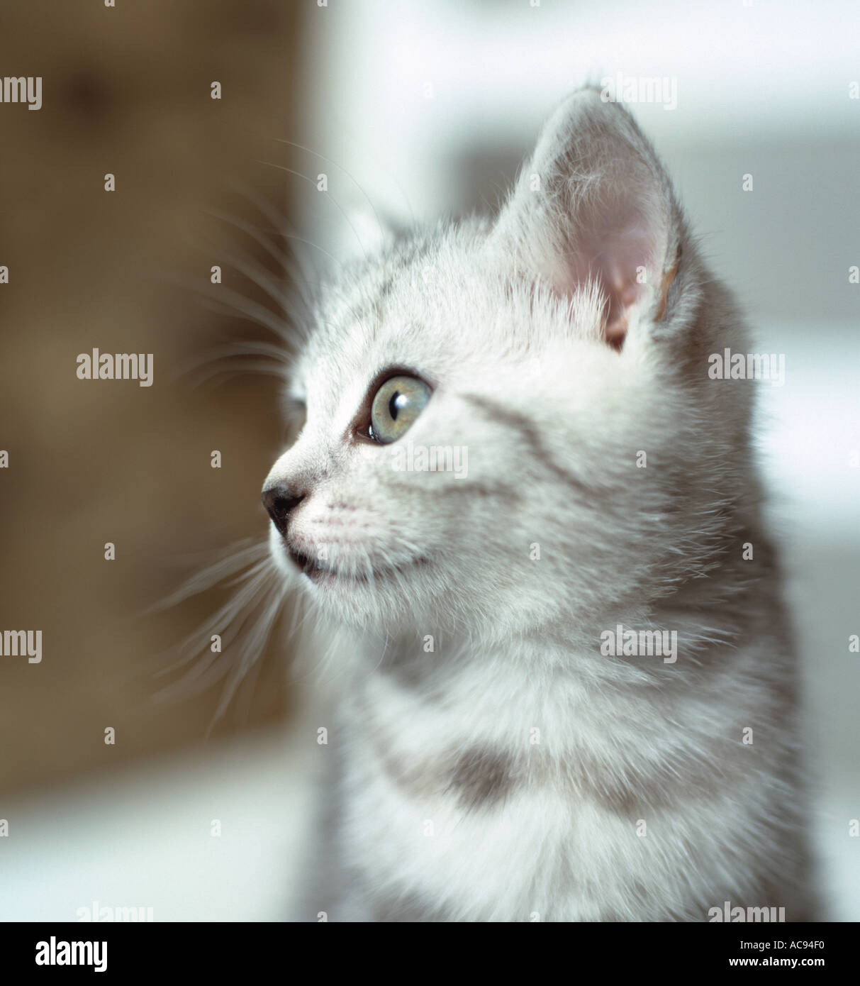 young kitten in profile - Stock Image