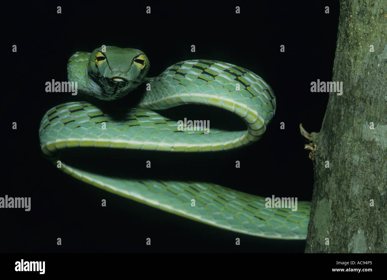 long-nosed tree snake, long-nosed whipsnake, Oriental whipsnake (Ahaetulla prasina), view from front, Indonesia, Sumatra Stock Photo