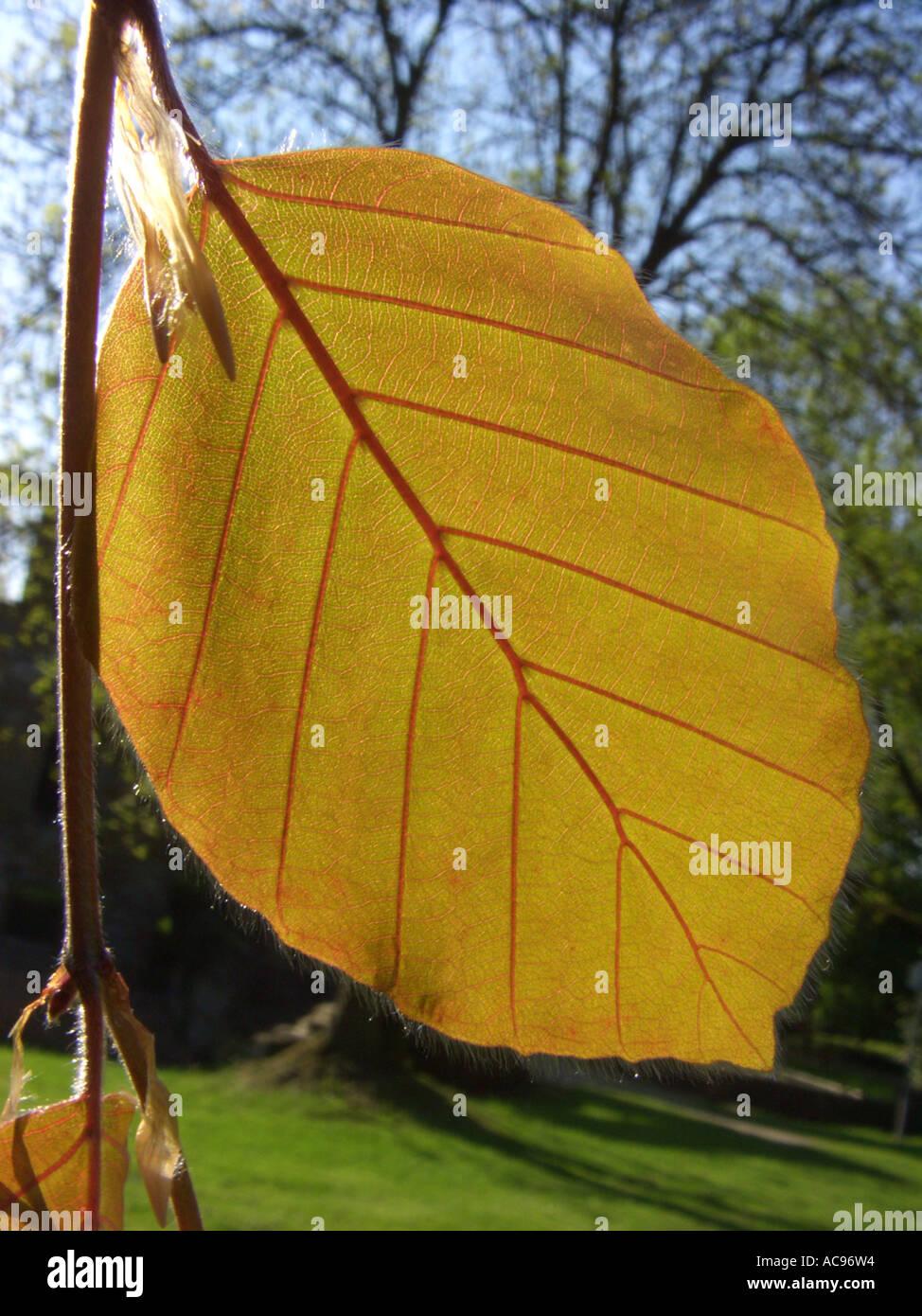 common beech (Fagus sylvatica), cv. Purpurea Pendula: leaf margin in backlight - Stock Image