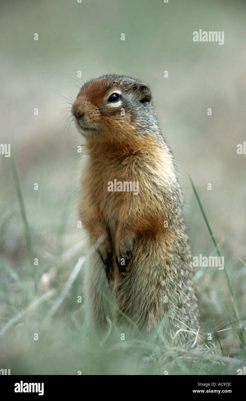 Columbian Ground Squirrel (Citellus columbianus), portrait of a single animal, watchful, Canada, Alberta Stock Photo
