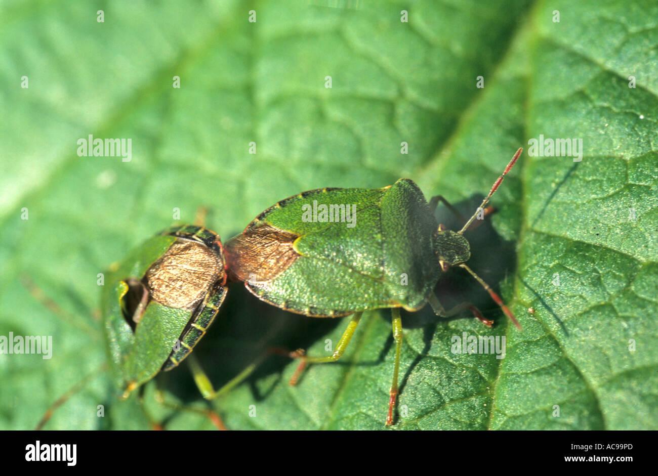 Sheild Bugs  Palomena prasina - Stock Image