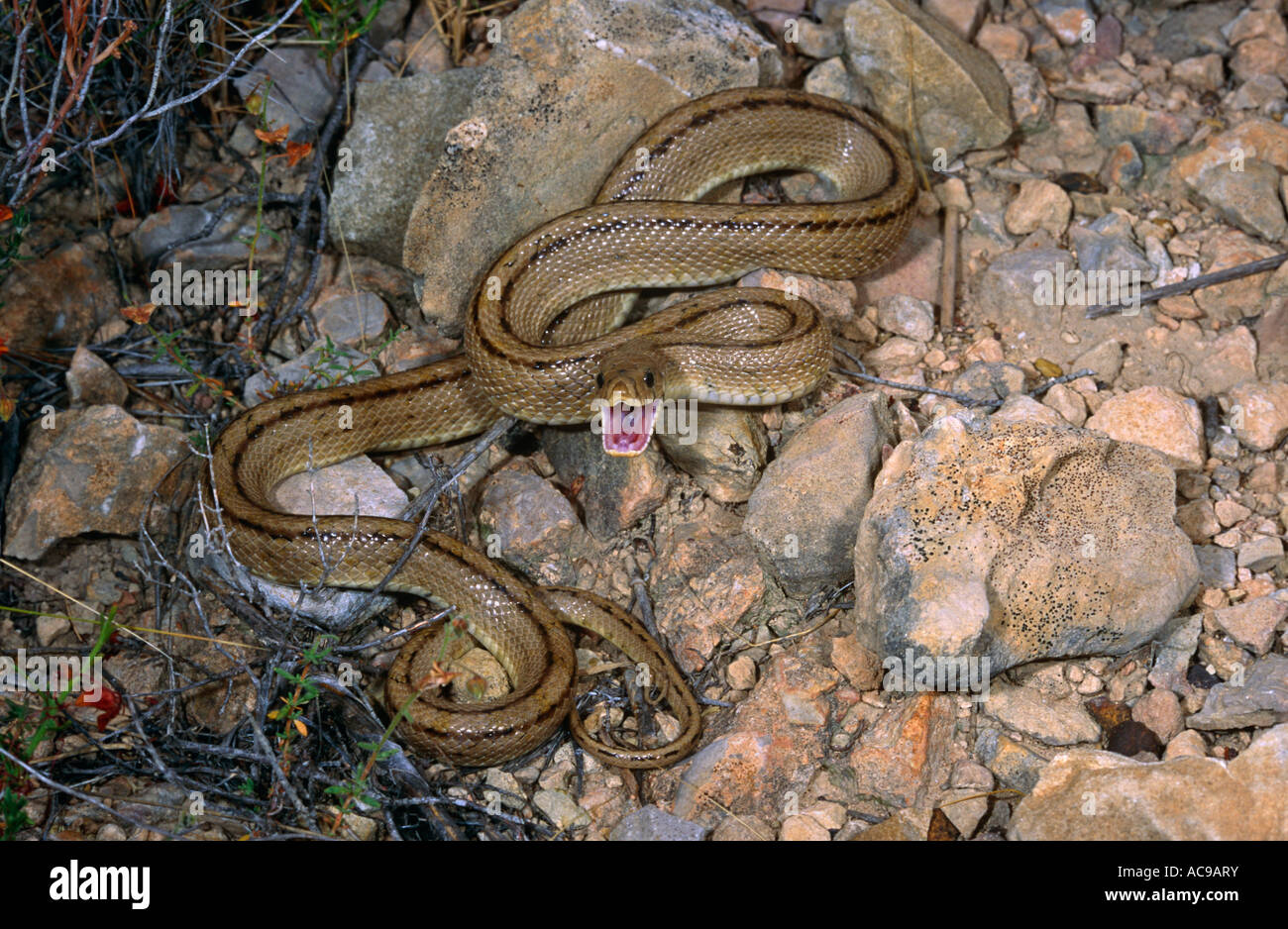 Ladder snake in defensive posture Elaphe scalaris Alicante Spain - Stock Image