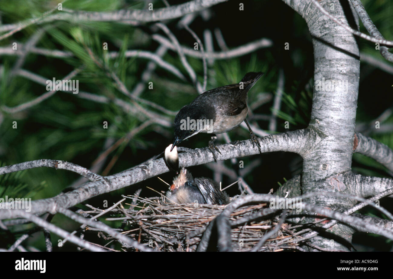 Orphean warbler removed fecal pellet from chick Sylvia hortensis Alicante Spain - Stock Image