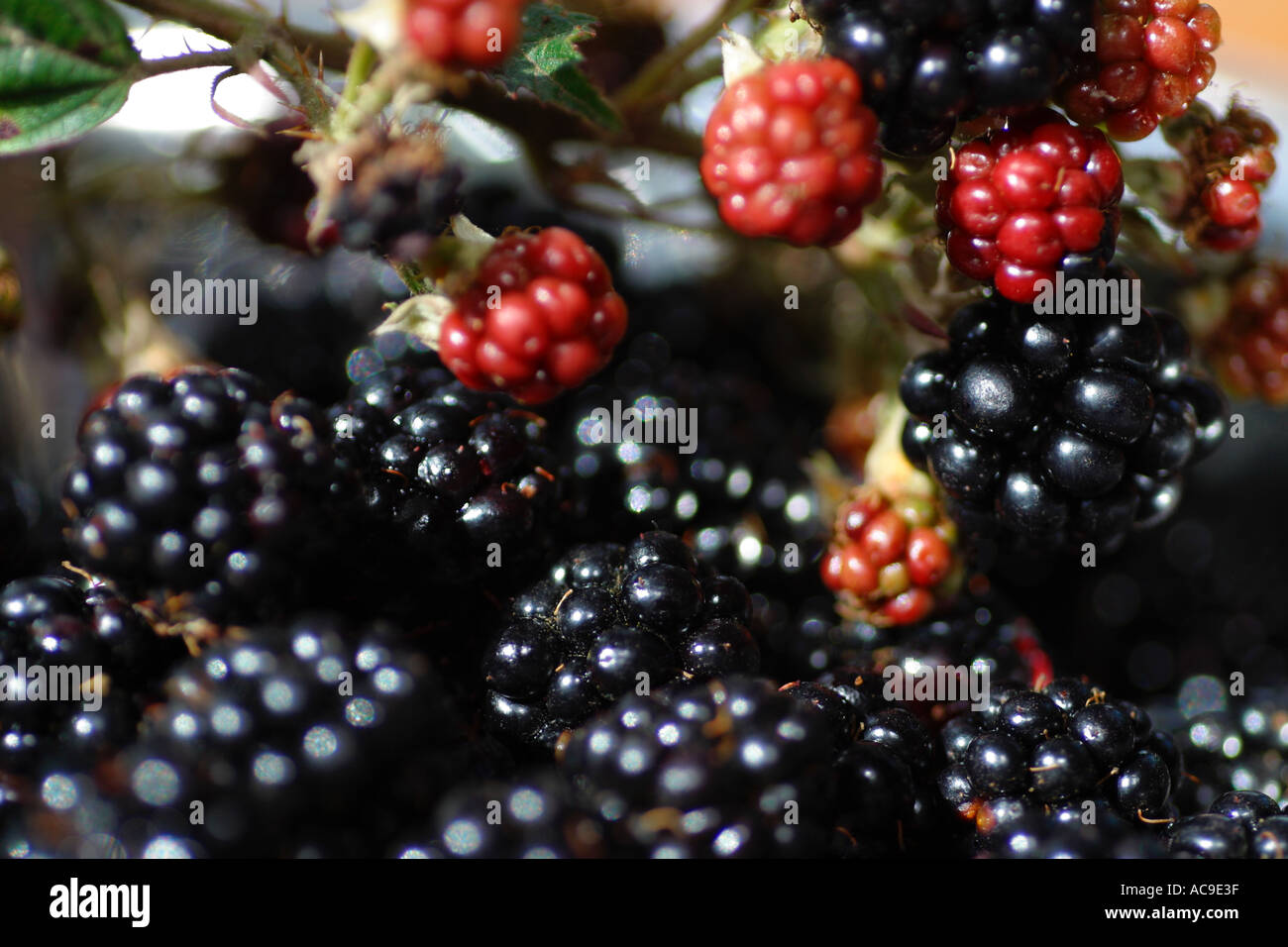 Foragers delight, food for free from the hedgerow. Autumn bounty of fresh sun ripened blackberries Stock Photo