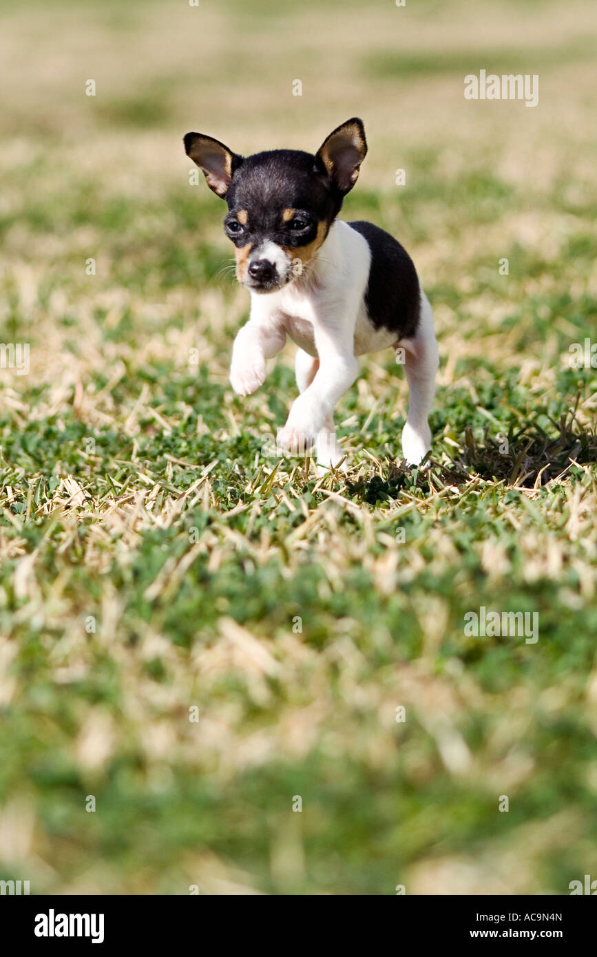 Rat Terrier Puppy Running In Open Field Stock Photo 13087364 Alamy