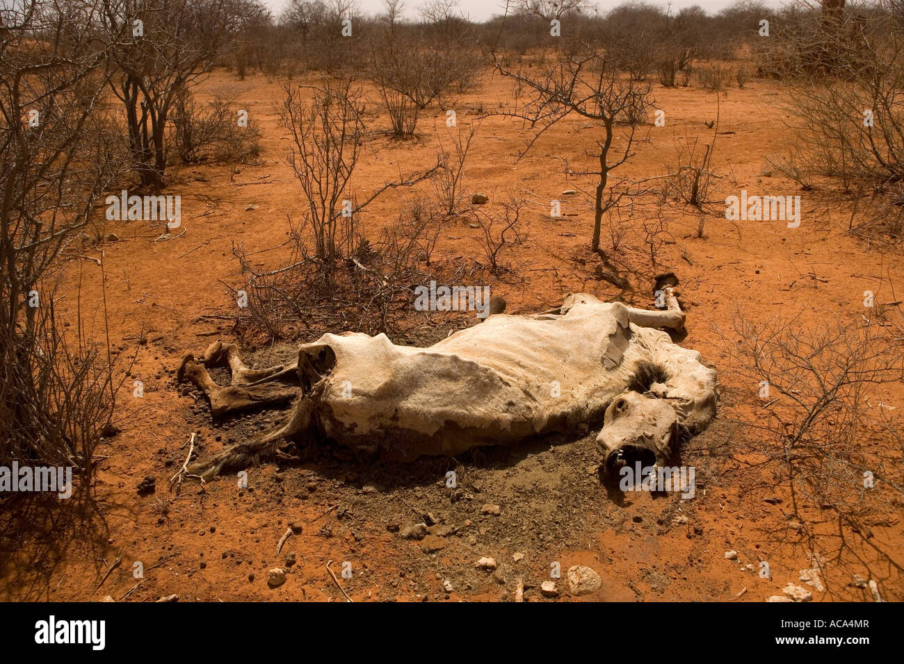 A camel lies dead by the side of the track, killed by Somalia's worst drought in 20 years - Stock Image