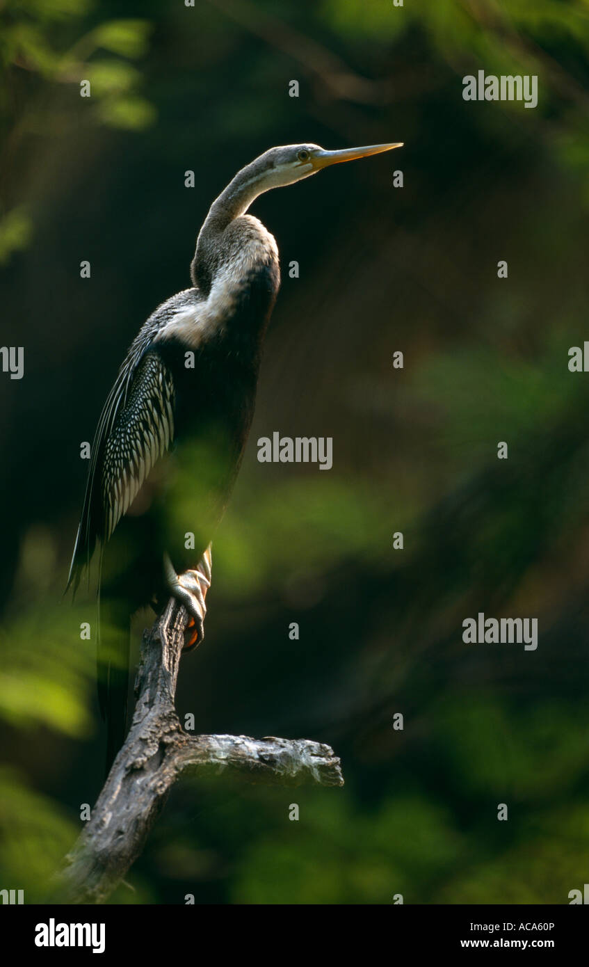Indian darter Anhinga melanogaster perched on branch Keoladeo Ghana NP Bharatpur Rajasthan India - Stock Image