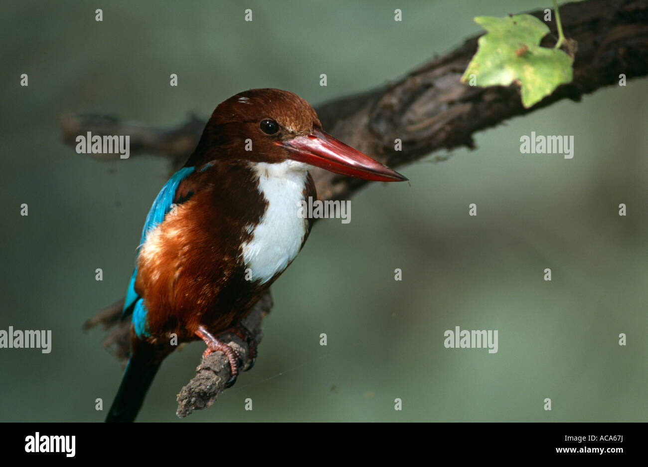 White breasted kingfisher Halycon smyrnensis perched on branch Keoladeo Ghana NP Bharatpur Rajasthan India - Stock Image