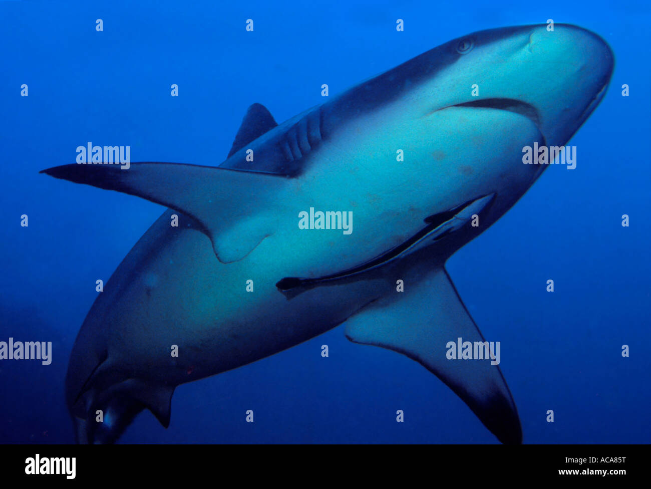 Gray reef shark Carcharhinus amblyrhynchos, Maledives, Indian Ocean - Stock Image