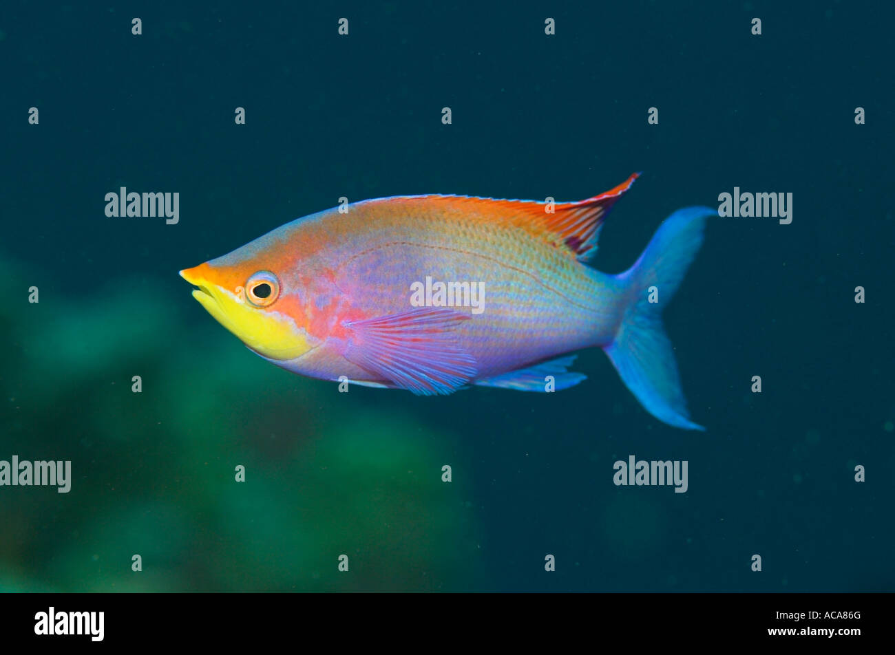 Male purple anthias, Pseudanthias tuka, Philippines, Pacific Ocean Stock Photo
