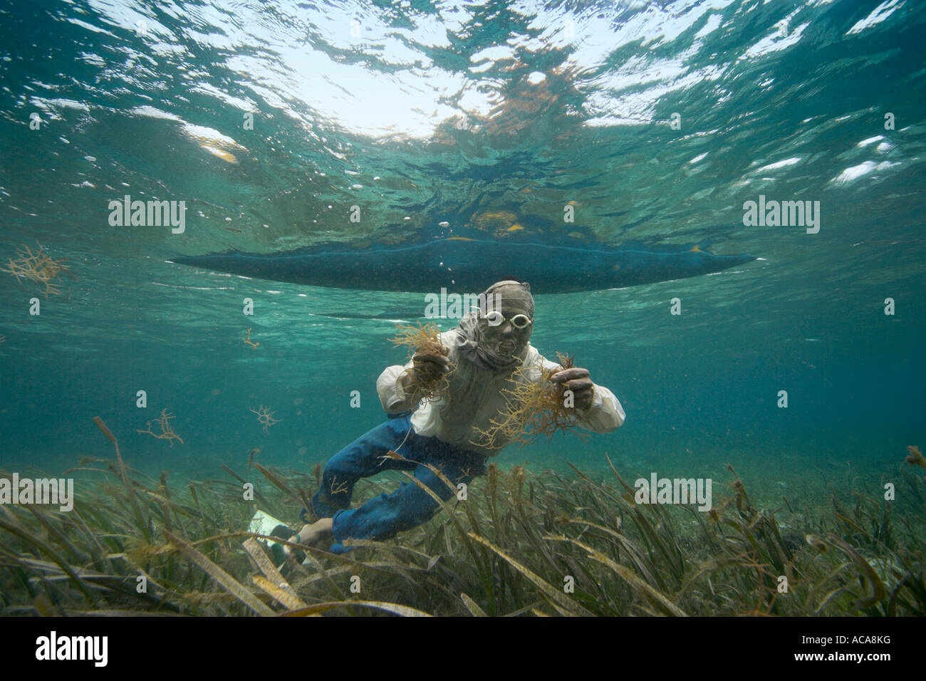 Philippine diver harvesting seaweed. Using a T-Shirt on his head as sun protection, Philippines, Pacific Ocean, Stock Photo