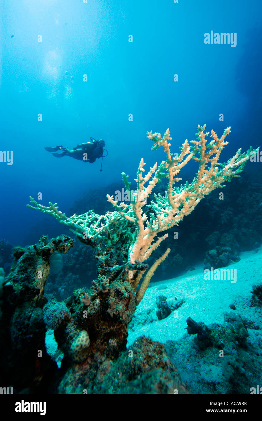 Diver behind a stony coral (Acropora hyacinthus) - Stock Image