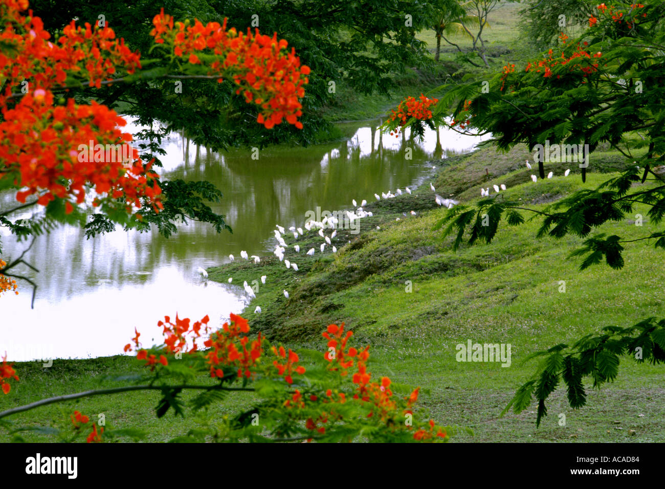 Red Acacia Tree Delonia Regia With Red Flowers And Egrets Feeding In