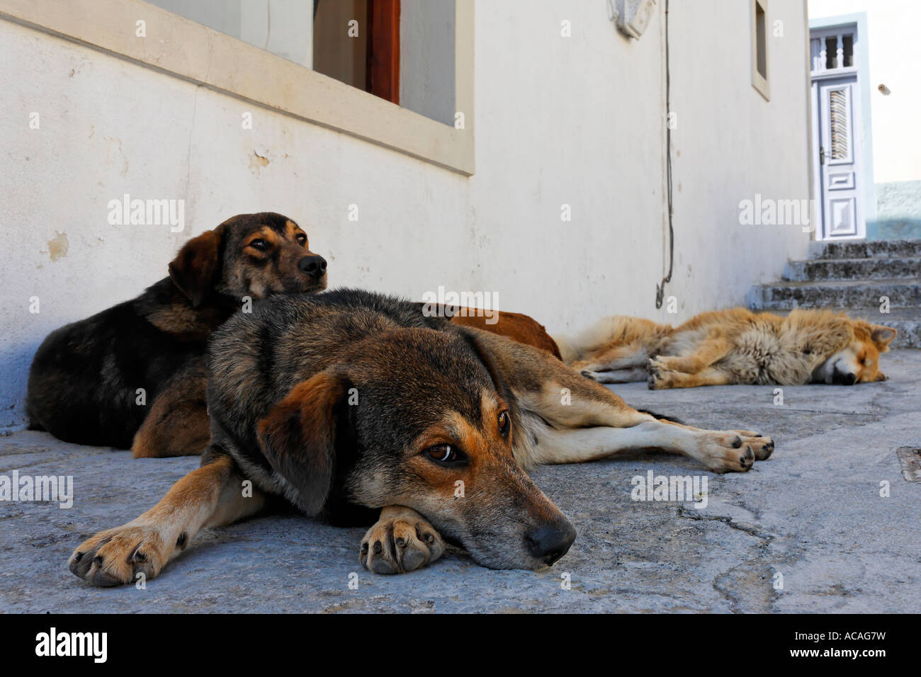 Dogs outside a house in Santorin in the Aegean, Greece - Stock Image