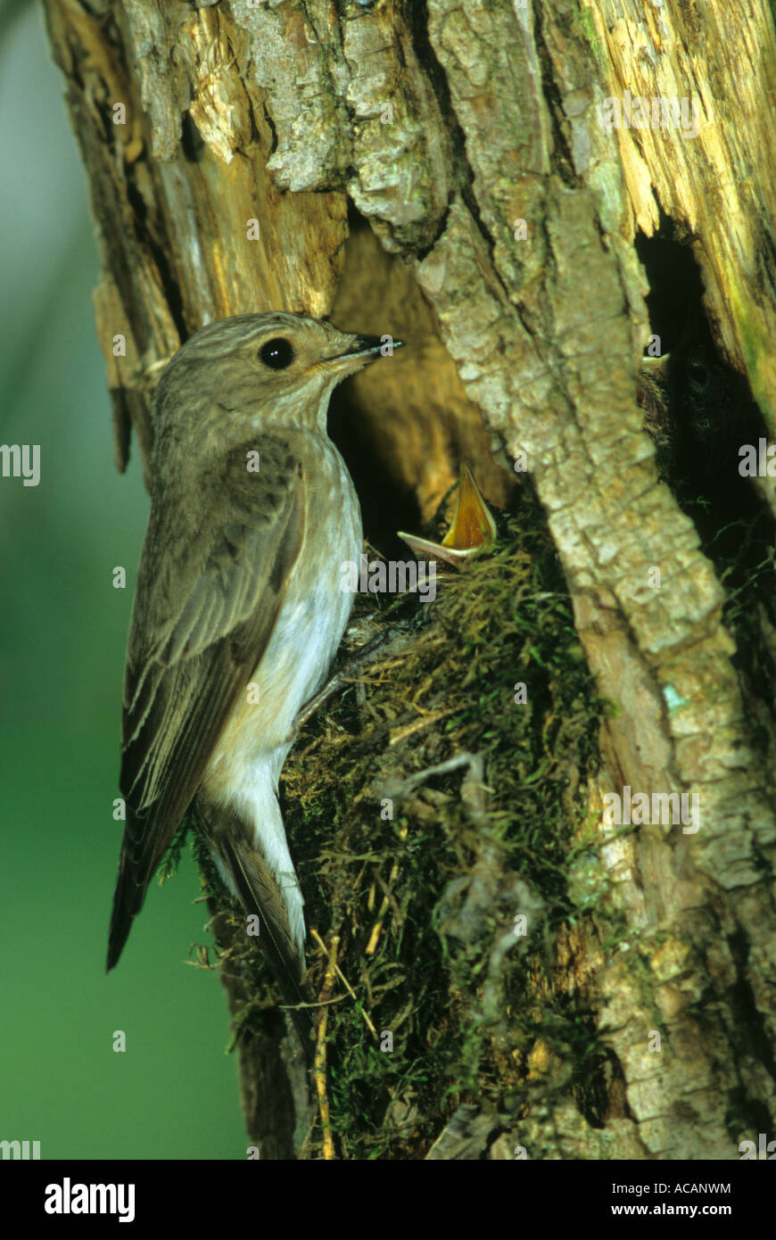 Spotted Flycatcher (Muscicapa striata) at nest with fledglings - Stock Image