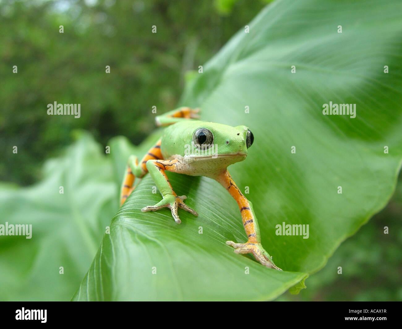 Green monkey tree frog (Phyllomedusa hypochondrialis azurea) crawling on banana a leaf, Gran Chaco, Paraguay - Stock Image
