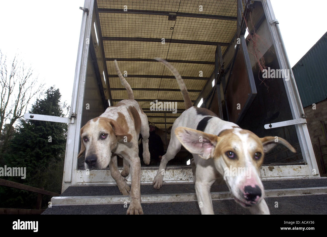 Fox hunting Hounds are released at the hunt UK - Stock Image