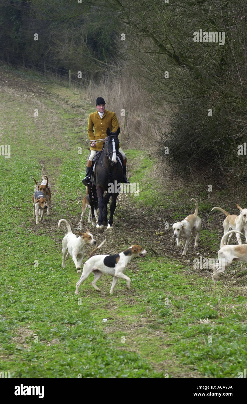 Fox hunting Hounds with master checking a field UK - Stock Image