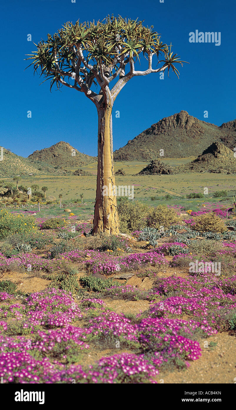Quiver tree Aloe dichotoma Goegap National Reserve Springbok North Cape South Africa - Stock Image
