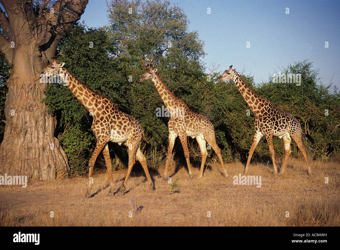 Three male Thornicroft s Giraffe South Luangwa National Park Zambia - Stock Image