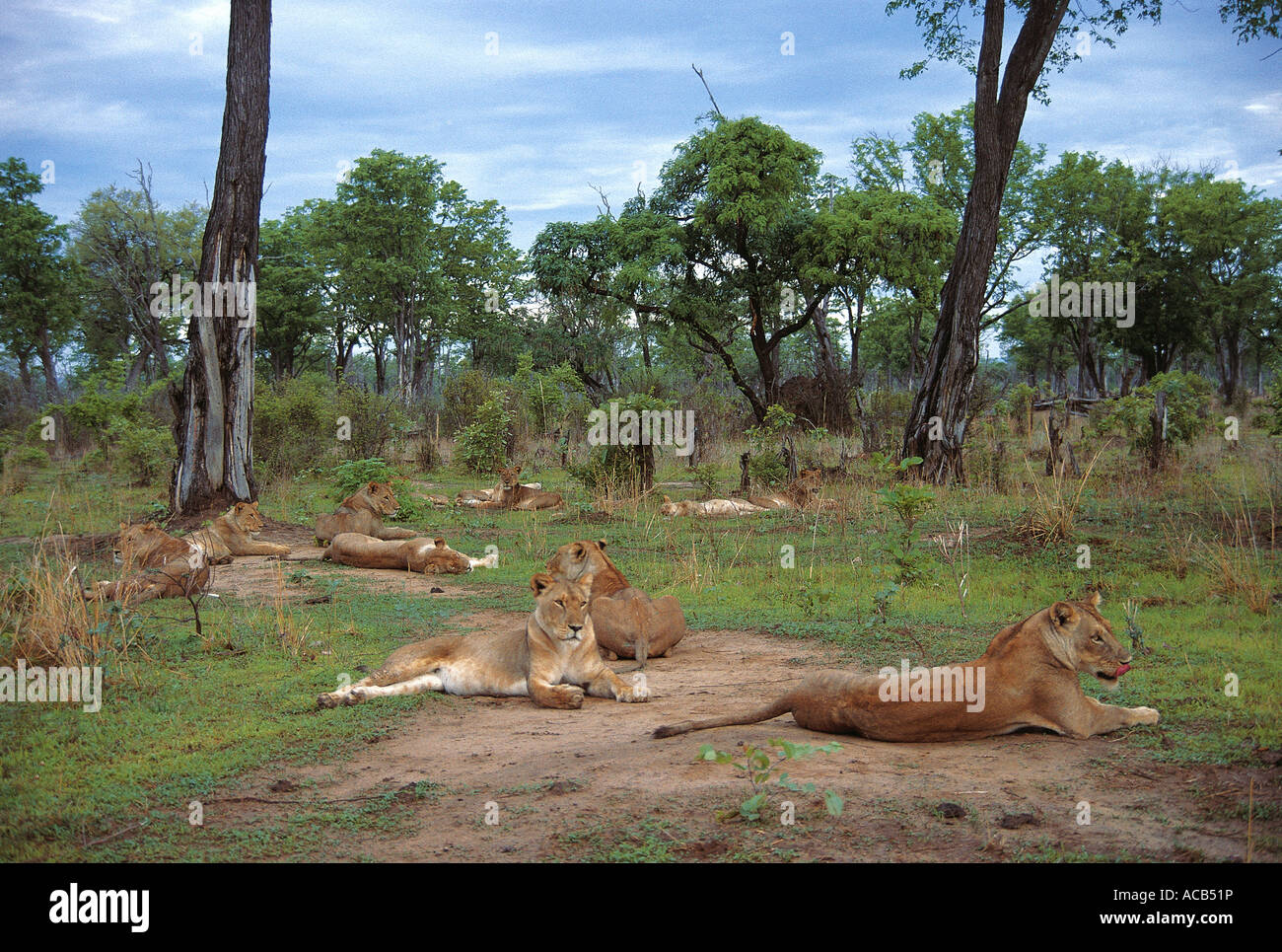 Large pride of Lion resting in the wet season South Luangwa National Park Zambia - Stock Image