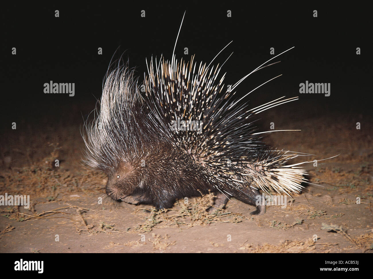 Porcupine South Luangwa National Park Zambia - Stock Image