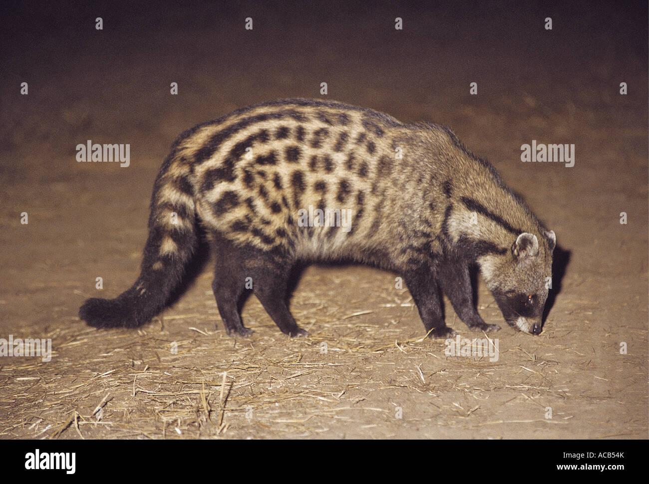 Civet taken at nightime South Luangwa National Park Zambia - Stock Image