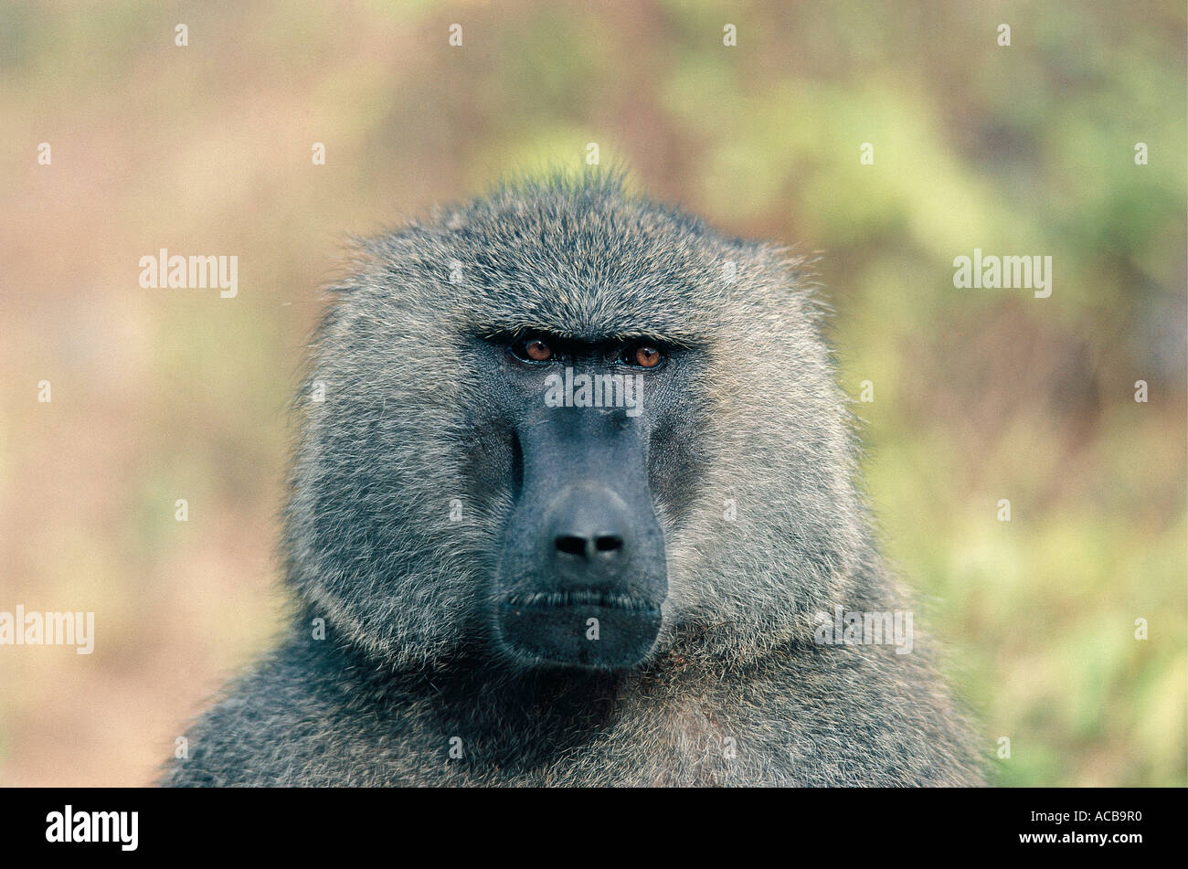Portrait of male Olive Baboon Lake Manyara National Park Tanzania East Africa - Stock Image