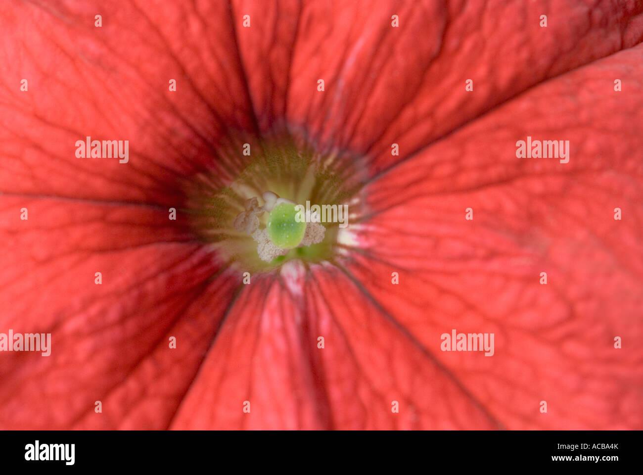 Close-up of a Petunia - Stock Image