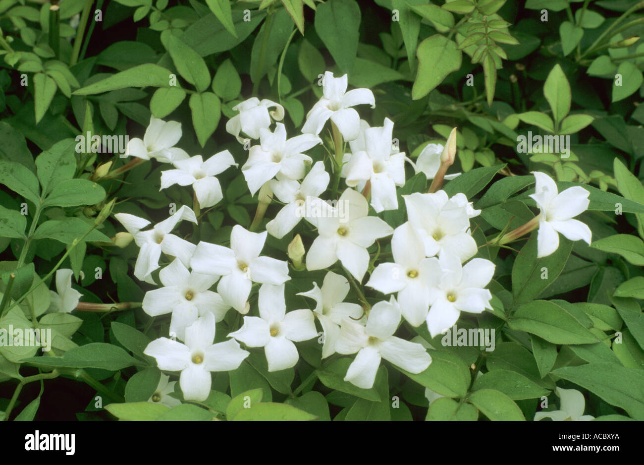 Jasminum officinale jasmine white flowers scented aromatic jasminum officinale jasmine white flowers scented aromatic garden plant jasmines mightylinksfo