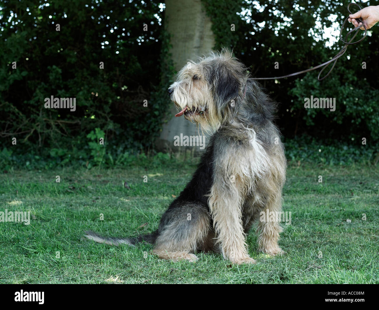 An otterhound on a lead, being disobedient. - Stock Image