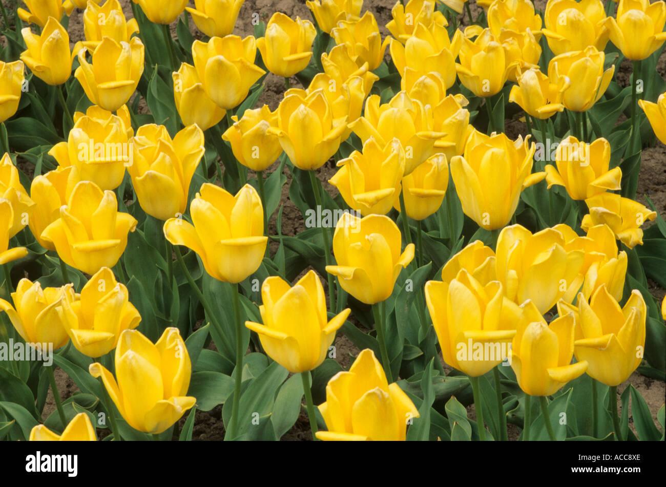 Tulipa 'Candela', div. 13 - Stock Image