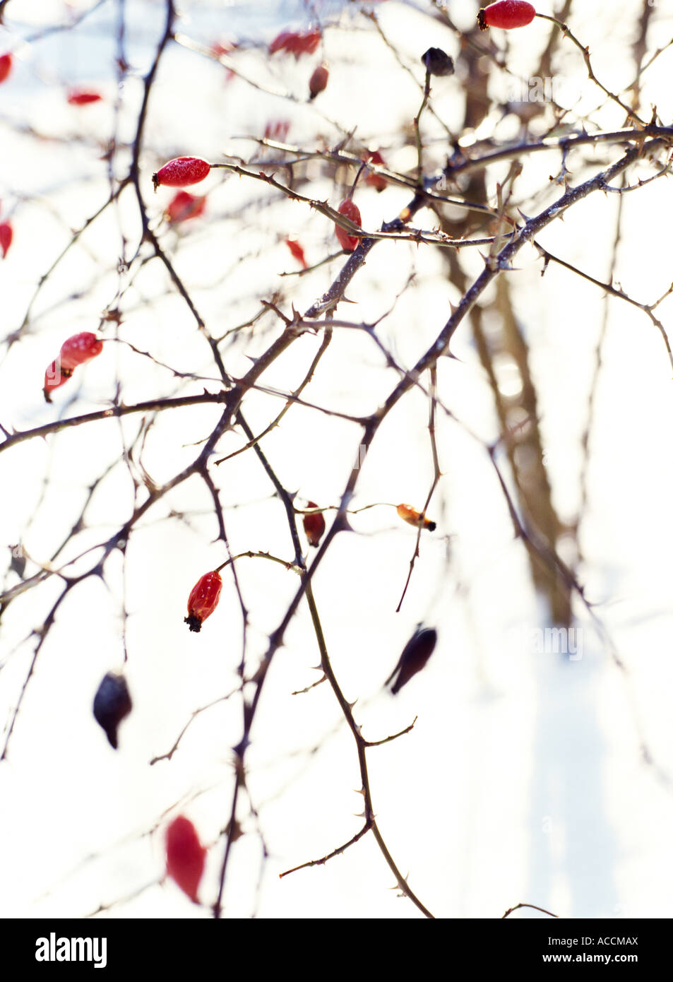 A rose hip bush in winter time. - Stock Image