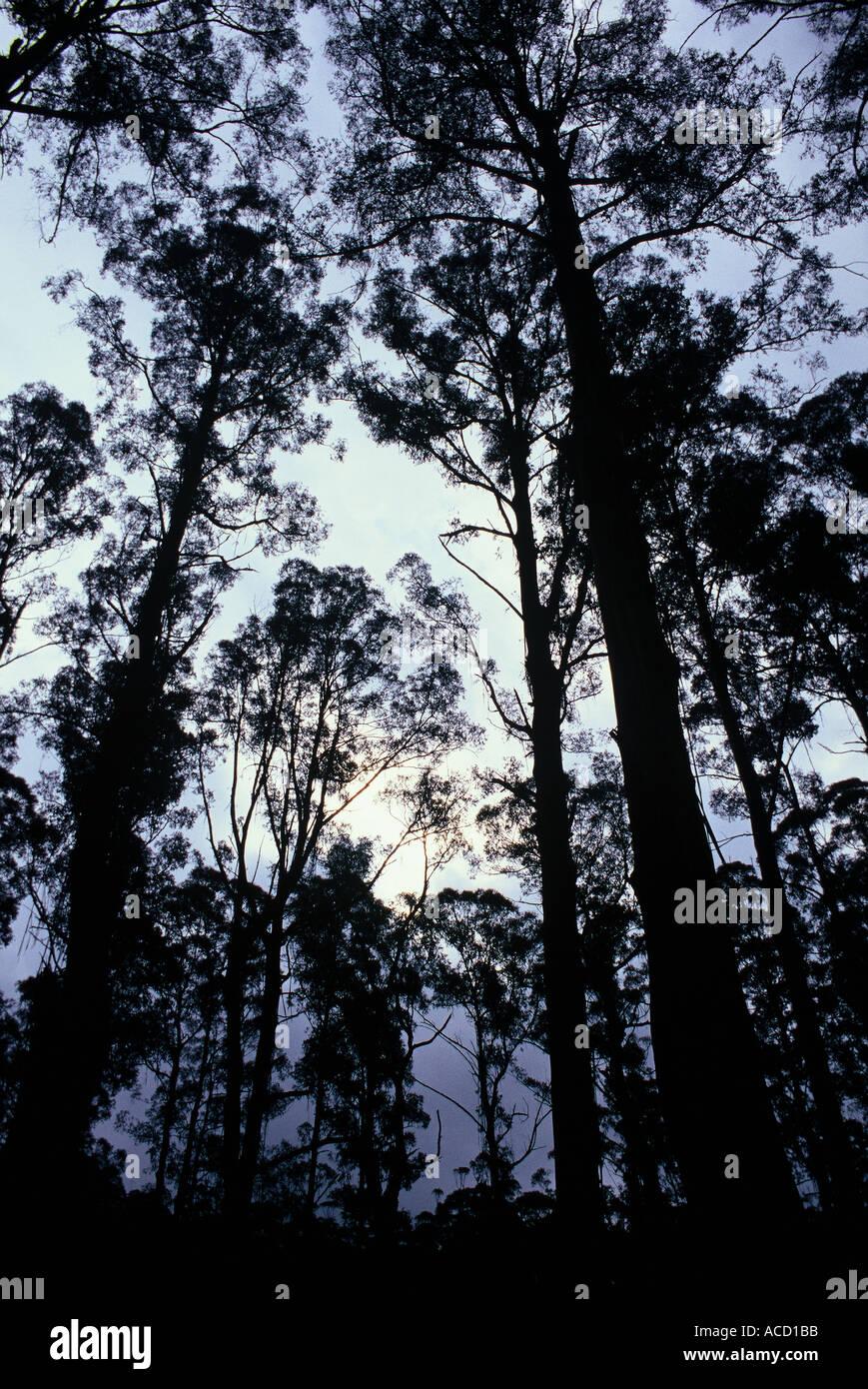 Mountain ash trees - Stock Image