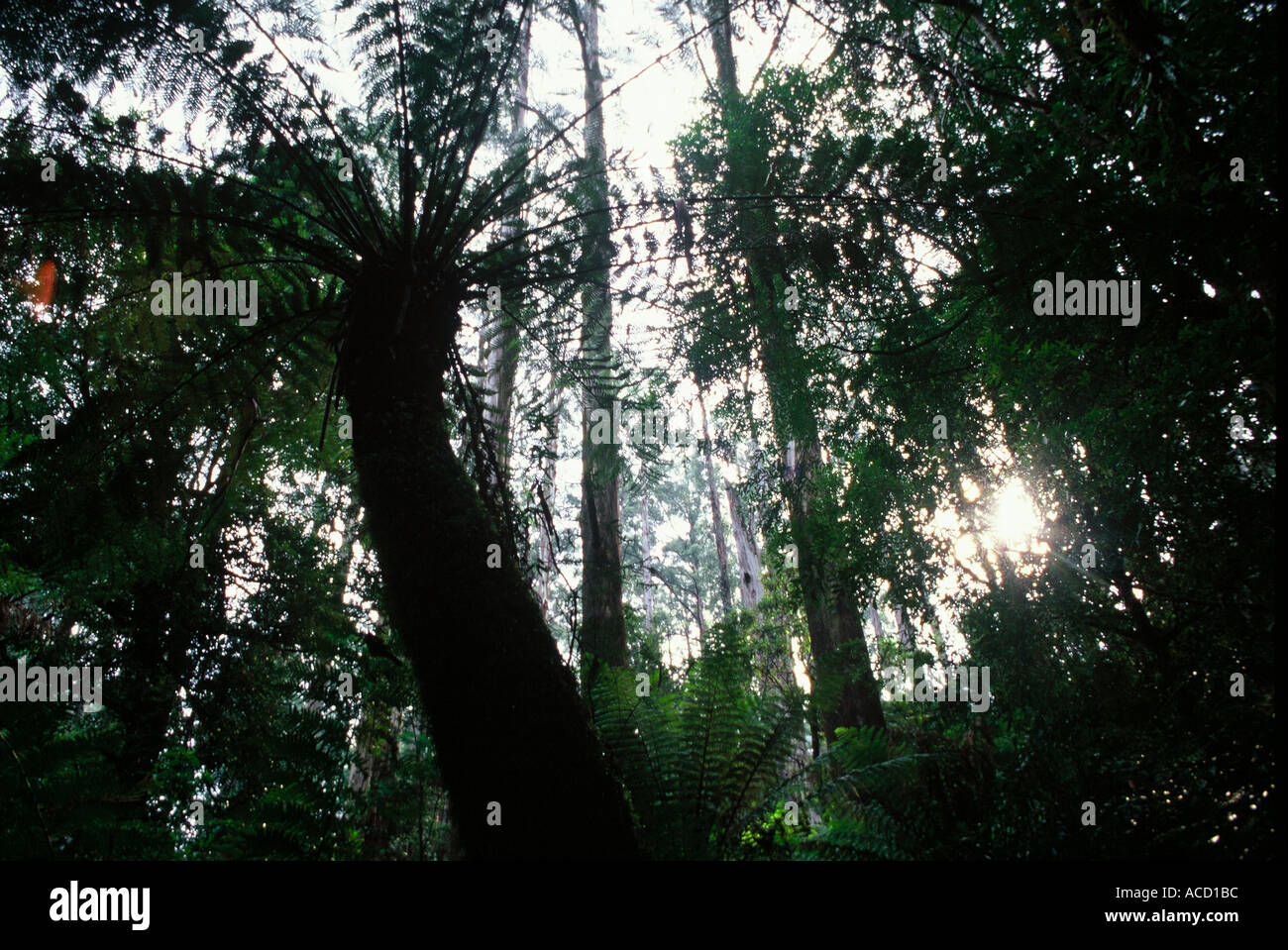 Fern tree in mountain ash forest - Stock Image