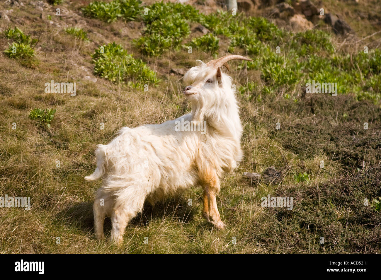 The Great Orme (Pen-y-Gogarth) Kashmiri mountain goat whose ancestors once roamed the mountains of Northern India - Stock Image