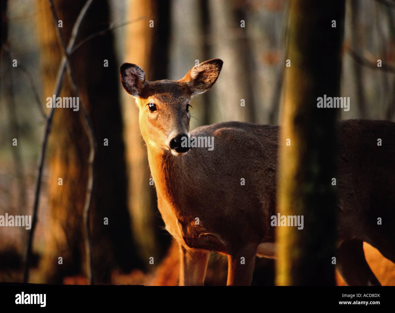 White tail deer in spring at Kensington Metro Park, near Detroit, Michigan Stock Photo