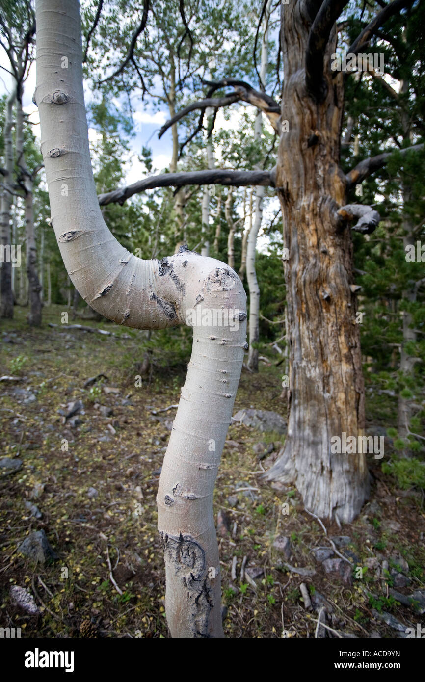 Aspen trees and pines in Great Basin National Park - Stock Image