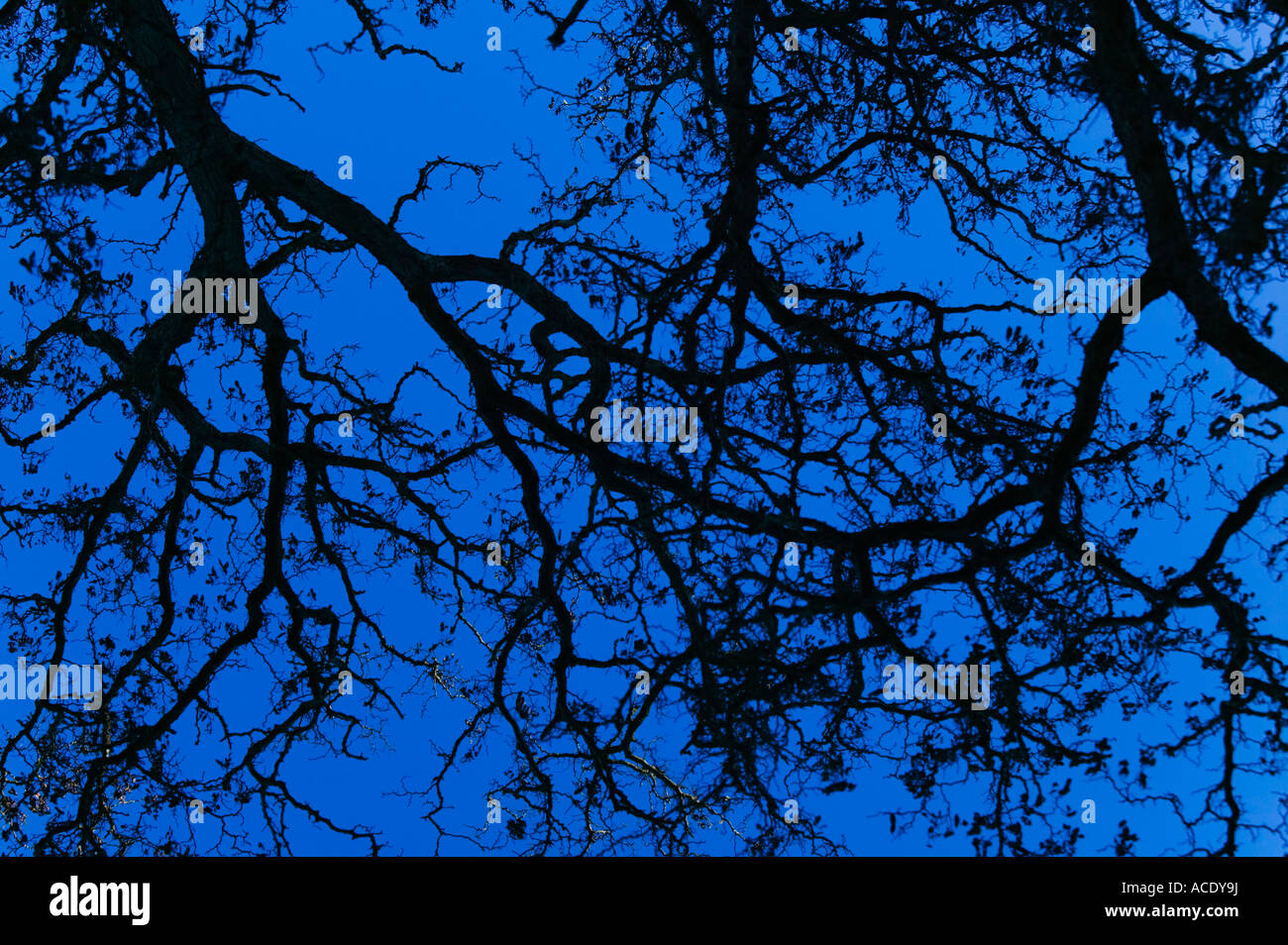 Tree branches against deep blue sky at twilight - Stock Image